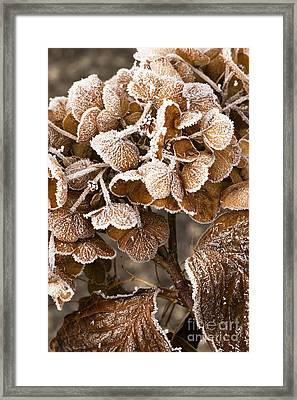 Frosted Hydrangea Framed Print by Anne Gilbert
