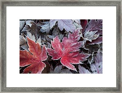 Frosted Maple Leaves Framed Print
