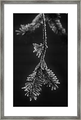 Frosted Pine Branch Framed Print