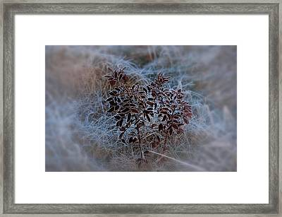 Frosted Rugosa Framed Print by Susan Capuano