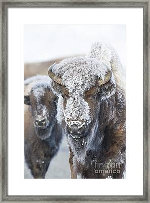 Frosty Bison Framed Print by Deby Dixon