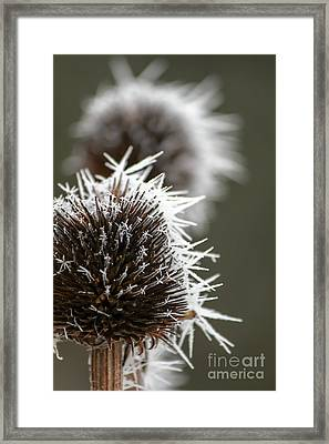 Frosty Coneflowers Framed Print