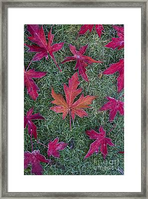 Frosty Maple Leaves Framed Print by Tim Gainey
