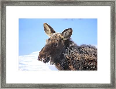 Frosty Moose Framed Print