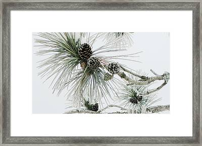 Frosty Pine Cones Framed Print by Carolyn Reinhart