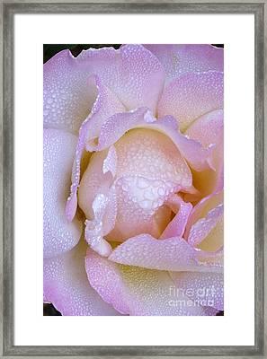 Frosty Pink Rose Morning Framed Print