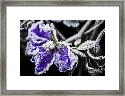 Frosty Purple Flower In Late Fall Framed Print by Elena Elisseeva