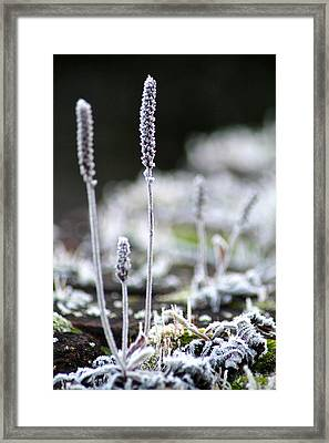 Frosty Weed Framed Print by Karen Grist