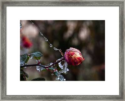 Froze Rose Framed Print by Mark Alder