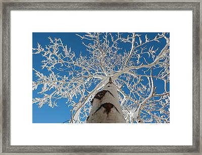 Frozen Bare Tree In Winter Against Blue Framed Print by Pete Mcbride