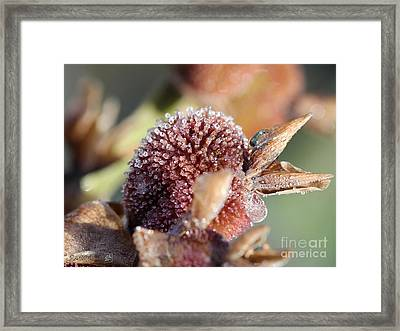 Frozen Dew Drops Melt From Canna Lily Seed Pods Framed Print by J McCombie