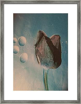 Frozen Tulip Framed Print
