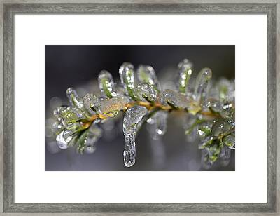 Frozen Yew Framed Print