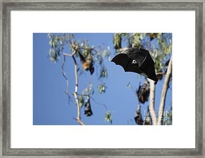 Fruit Bat Framed Print