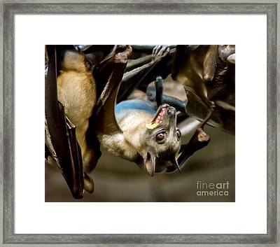 Fruit Bat Fedding Time Framed Print