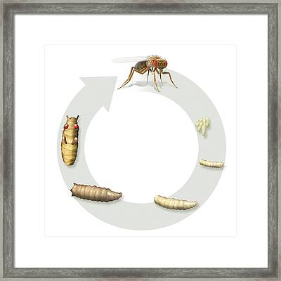 Fruit Fly Life-cycle Framed Print by Claus Lunau