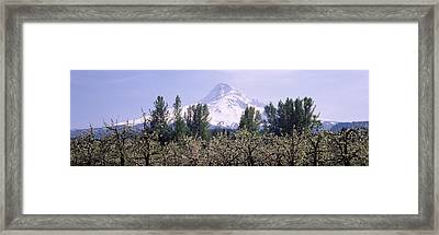 Fruit Trees In An Orchard Framed Print