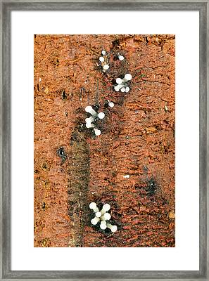 Fruiting Bodies Of A Slime Mould Framed Print by Dr Morley Read