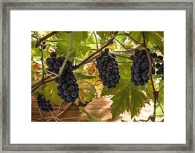 Fruits Of The Vine  Framed Print by Rob Hawkins