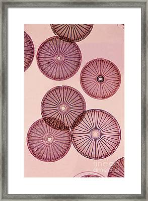 Frustules Of Diatoms Framed Print by De Agostini Picture Library