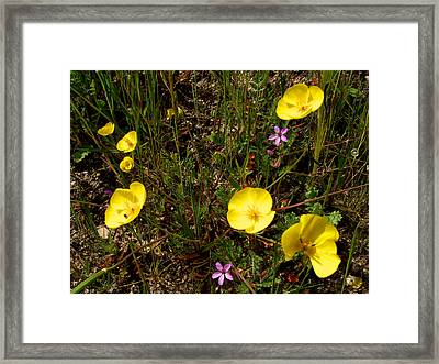 Frying Pan Poppies And Red-stemmed Filaree In Park Sierra-ca Framed Print