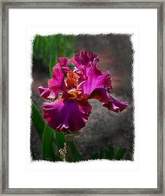 Fuchia Iris Framed Print by Wynn Davis-Shanks