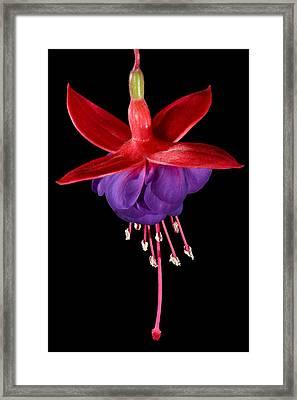 Fuchsia-0001 Framed Print by Russ Greene