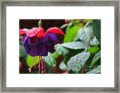 Fuchsia After Rain Framed Print