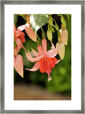 Fuchsia 'amazing Maisie' Framed Print by Adrian Thomas