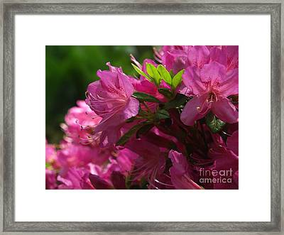 Fuchsia Azalea In Full Glory Framed Print by Anna Lisa Yoder