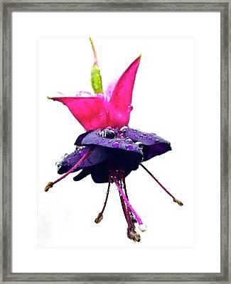 Fuchsia 'black To The Fuchsia' Framed Print by Ian Gowland
