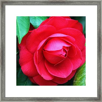 Fuchsia Camellia In Pastel Framed Print by Suzanne Gaff