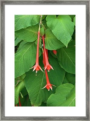 Fuchsia Fulgens Framed Print by Geoff Kidd