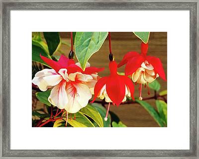 Fuchsia 'golden Swingtime' Framed Print