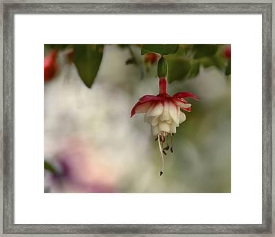 Fuchsia Love Framed Print by Ann Bridges
