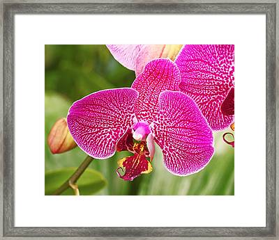 Fuchsia Moth Orchid Framed Print by Rona Black