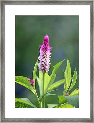 Fuchsia Spike Framed Print by Suzanne Gaff