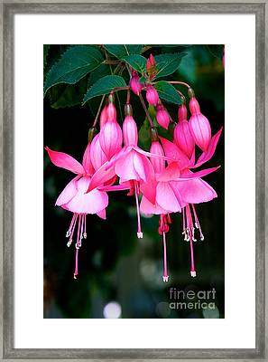 Framed Print featuring the photograph Fuchsia  by Vinnie Oakes