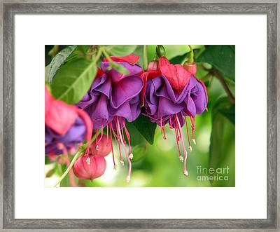 Fuchsias Framed Print by Chris Anderson