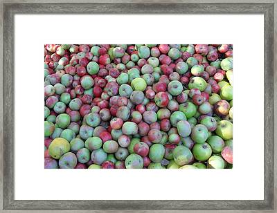 Fuji Apples Framed Print