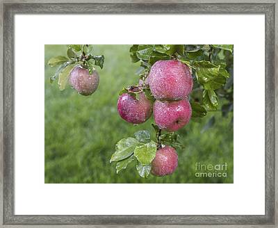 Fuji Apples Ready To Be Picked Framed Print by Vishwanath Bhat