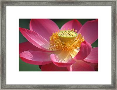 Full Bloom Framed Print by Elvira Butler