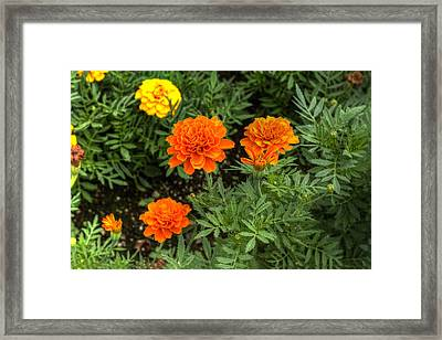 Full Bloom Framed Print by Honour Hall