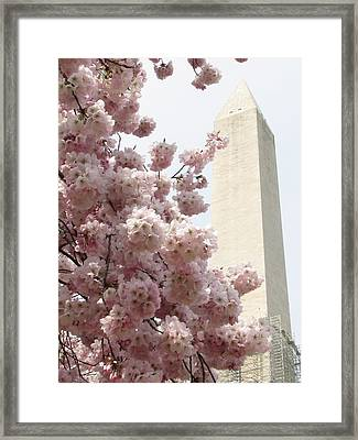 Full Bloom In Dc Framed Print by Jennifer Wheatley Wolf