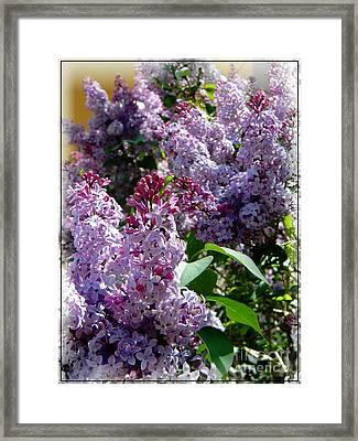 Full Bloom Lilacs Framed Print