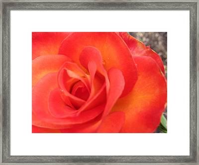 Full Bloom Framed Print by Rose Clark