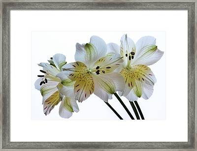 Full Bloom. Framed Print by Terence Davis