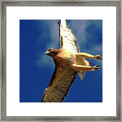 Full Flight Framed Print by Rebecca Adams