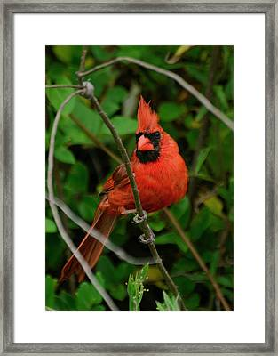Full Glory Cardinal - 51006183f Framed Print by Paul Lyndon Phillips