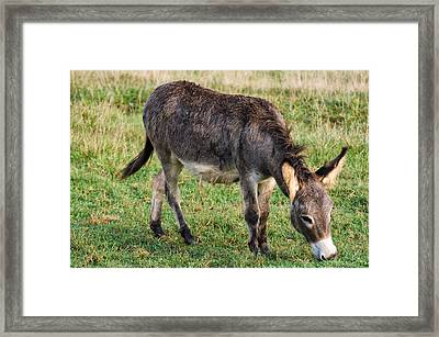 Full Grown Donkey Grazing Framed Print by Chris Flees